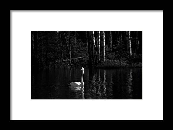 Lehtokukka Framed Print featuring the photograph Whooper Swan In Bw 1 by Jouko Lehto