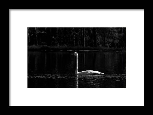 Lehtokukka Framed Print featuring the photograph Whooper Swan In Bw 2 by Jouko Lehto