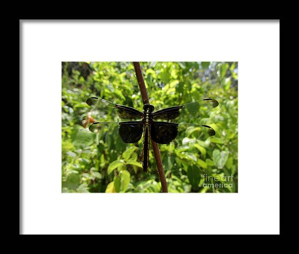 Insect Framed Print featuring the photograph Widow Skimmer Dragonfly Female by Donna Brown