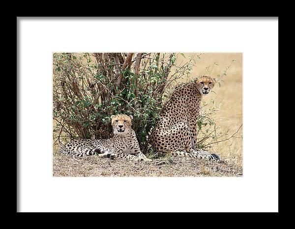 Cheetah Framed Print featuring the photograph Wild Cheetahs by Michael Paskvan