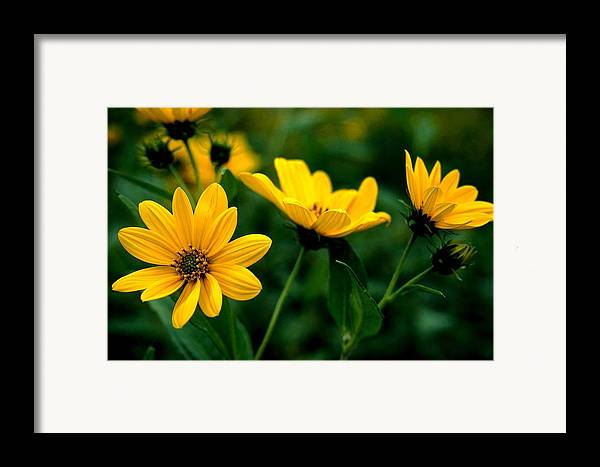 Wildflowers Framed Print featuring the photograph Wild Daisies by Roger Soule