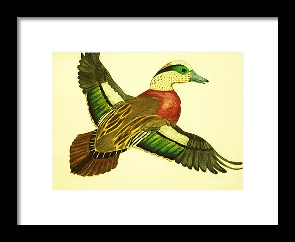 Wild Duck Drawings Framed Print featuring the drawing Wild Duck by Jamey Balester