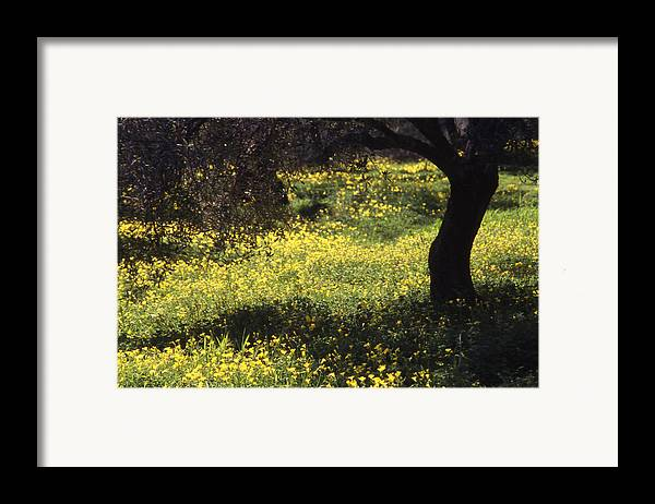 Nature Framed Print featuring the photograph Wild Flowers In An Olive Grove by Steve Outram