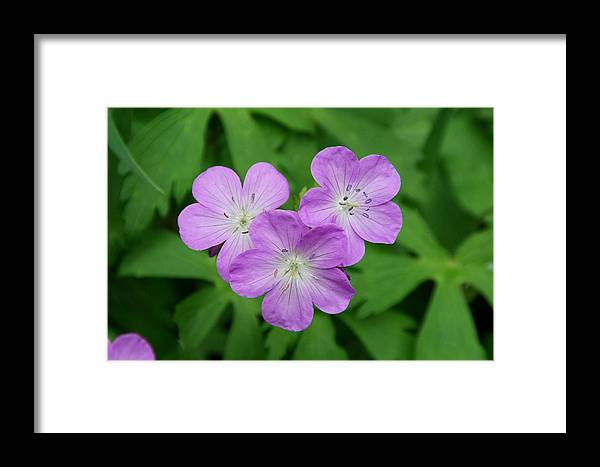 Wild Geranium Framed Print featuring the photograph Wild Geranium Triplet by Alan Lenk