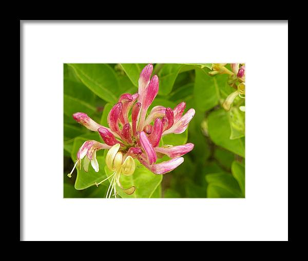 Digital Photography Framed Print featuring the photograph Wild Honeysuckle by Laurie Kidd