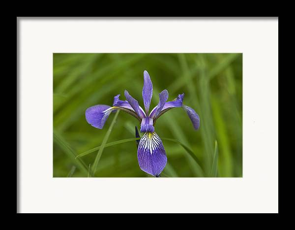 Flower Framed Print featuring the photograph Wild Iris by Steve Kenney