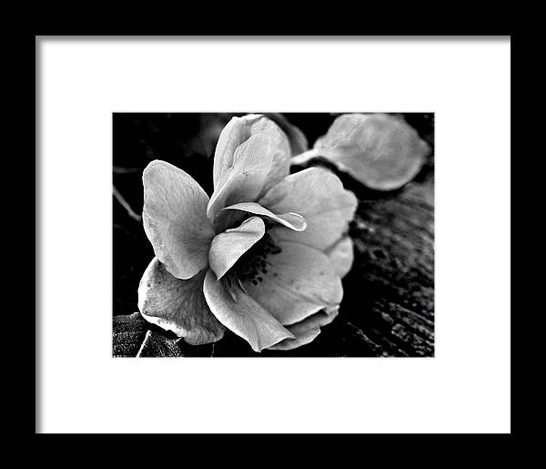 Ansel Adams Framed Print featuring the photograph Wild Rose And Salvaged Barn Wood by Curtis J Neeley Jr