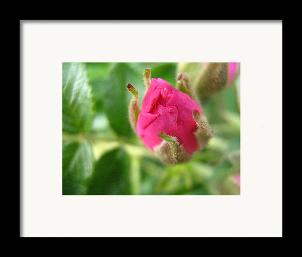 Rose Framed Print featuring the photograph Wild Rose Bud by Melissa Parks