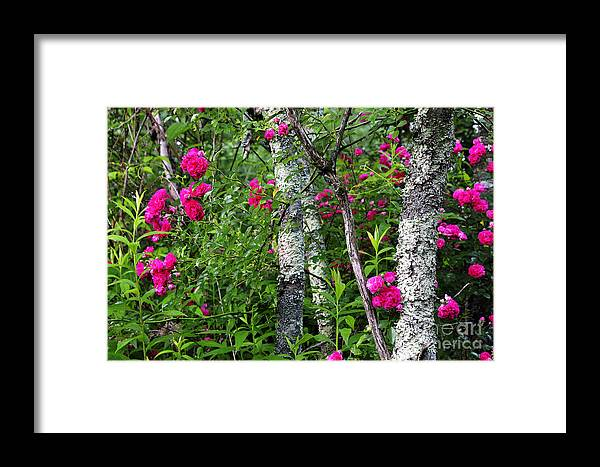 Wild Rose Framed Print featuring the photograph Wild Rose In Sumac by Thomas R Fletcher