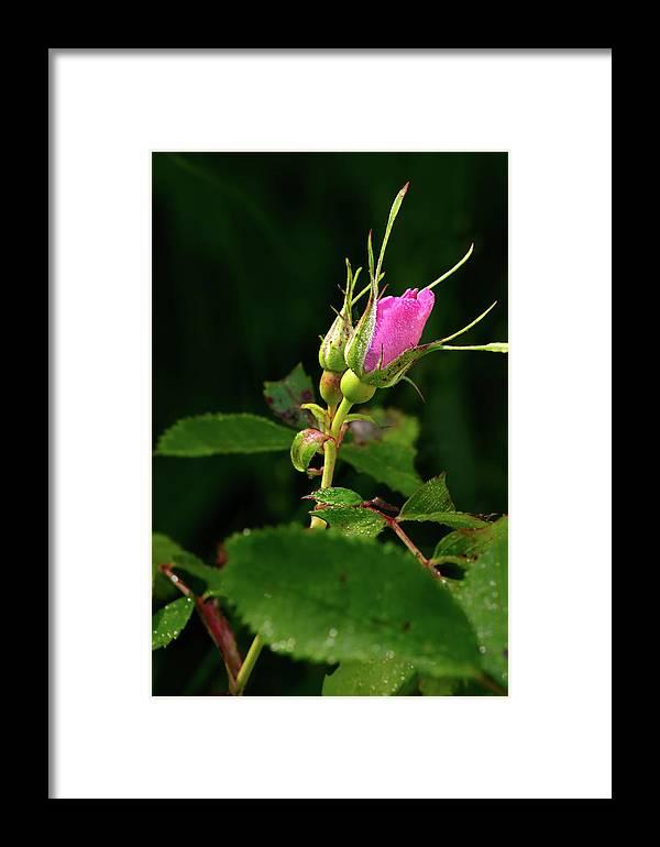 Rosebud Framed Print featuring the photograph Wild Rosebud by Grant Groberg