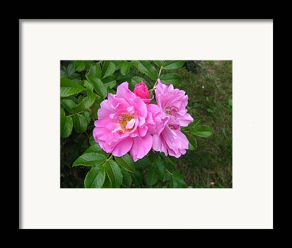 Rose Framed Print featuring the photograph Wild Roses by Melissa Parks