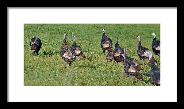Turkey Framed Print featuring the photograph Wild Turkeys On The Run by Don and Sheryl Cooper