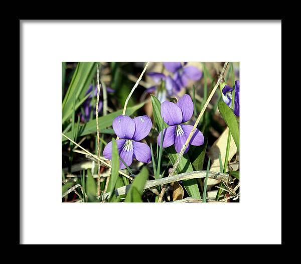 Violets Framed Print featuring the photograph Wild Violets by George Jones