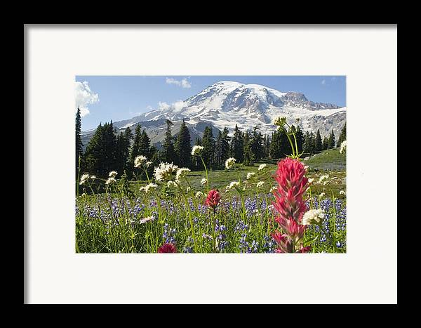 Attractions Framed Print featuring the photograph Wildflowers In Mount Rainier National by Dan Sherwood