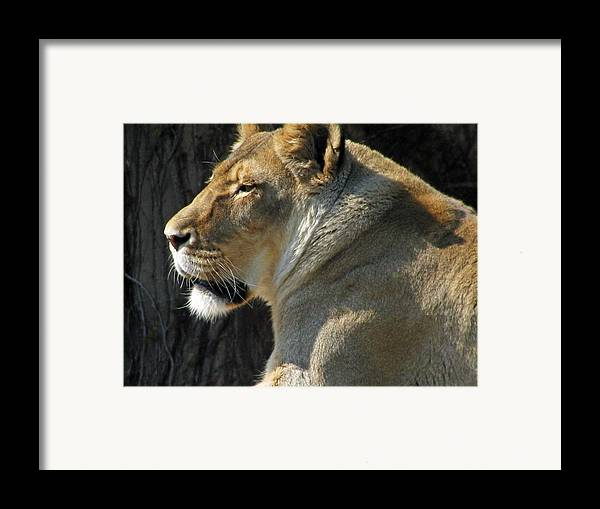 Lion Framed Print featuring the photograph Wildlife Series by Ginger Geftakys