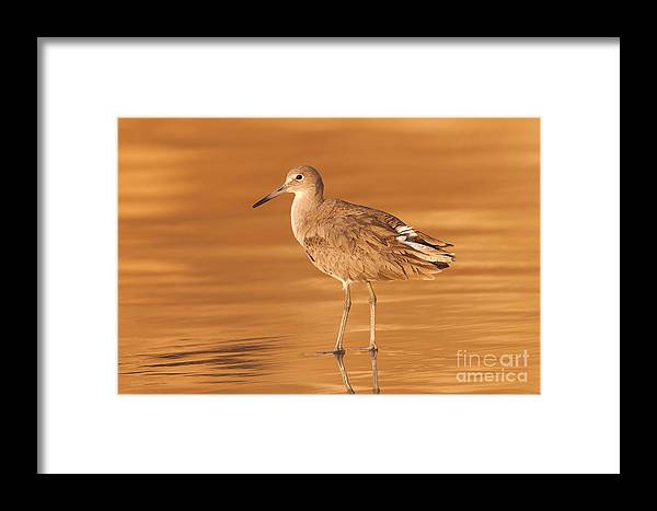Clarence Holmes Framed Print featuring the photograph Willet by Clarence Holmes