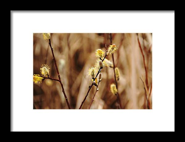 Pussy Willows Framed Print featuring the photograph Willow Catkins by Debbie Oppermann