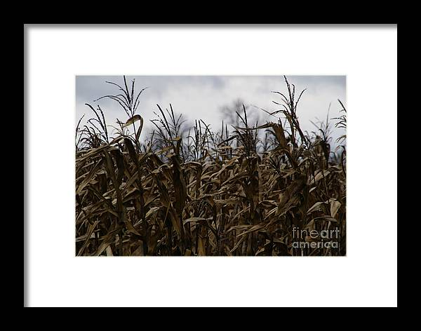 Corn Framed Print featuring the photograph Wind Blown by Linda Shafer
