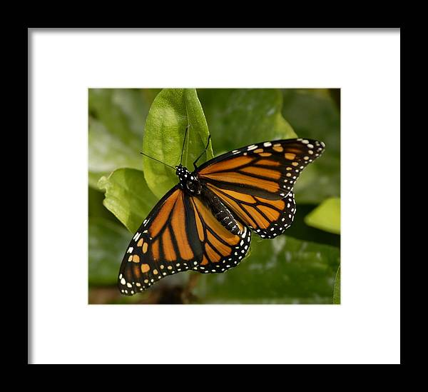 Bugs Framed Print featuring the pyrography Winged Beauty by Donna Stiffler