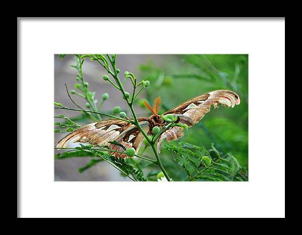 Butterfly Framed Print featuring the photograph Wings 2 by Michael Brown