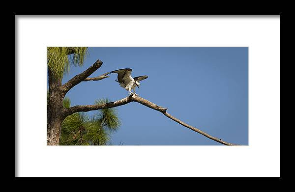 Osprey Framed Print featuring the photograph Wings Of An Osprey by Chad Davis