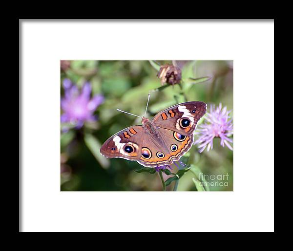 Common Buckeye Butterfly Framed Print featuring the photograph Wings Of Wonder - Common Buckeye Butterfly by Kerri Farley