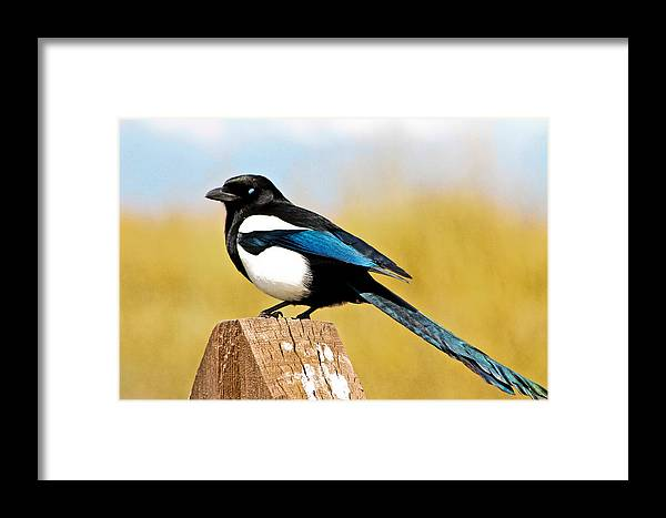 Magpie Framed Print featuring the photograph Winking Magpie by Mitch Shindelbower