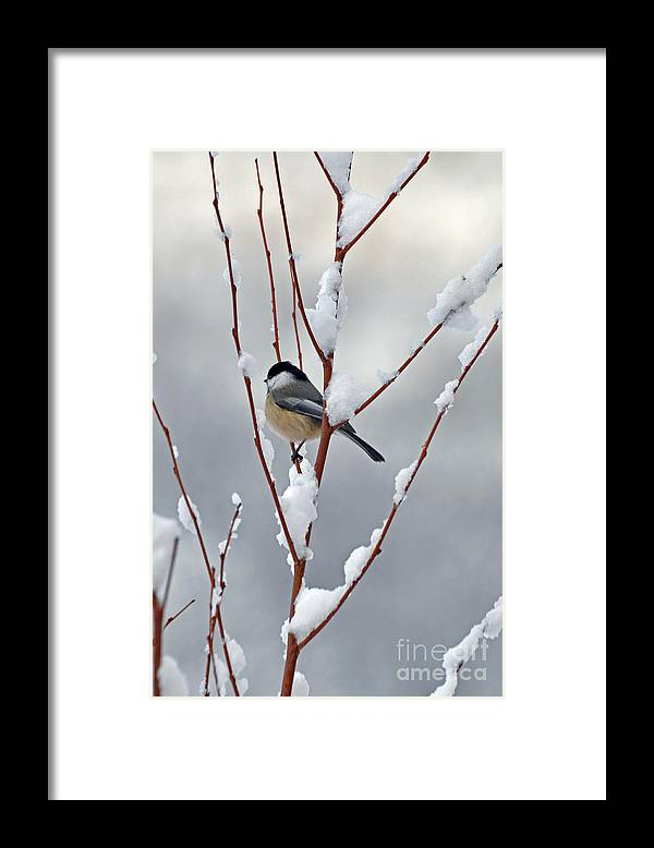 Berry Framed Print featuring the photograph Winter Chickadee by Diane E Berry