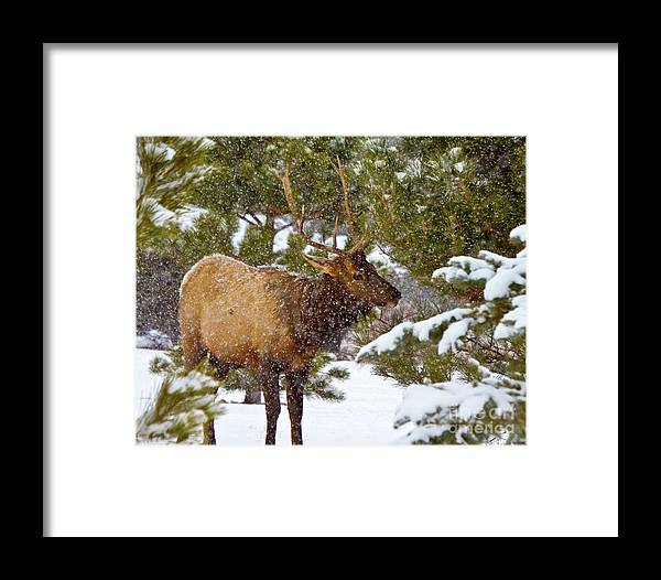 Animal Framed Print featuring the photograph Winter Quest by Crystal Garner