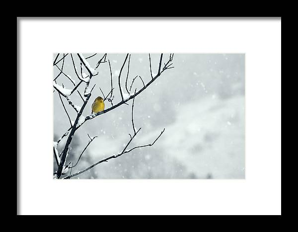 Goldfinch Framed Print featuring the photograph Winter Snow With A Touch Of Goldfinch For Color by Laura Mountainspring