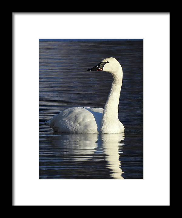 Swan Reflection White Wildlife Framed Print featuring the photograph Winter Swan by Christopher Brown