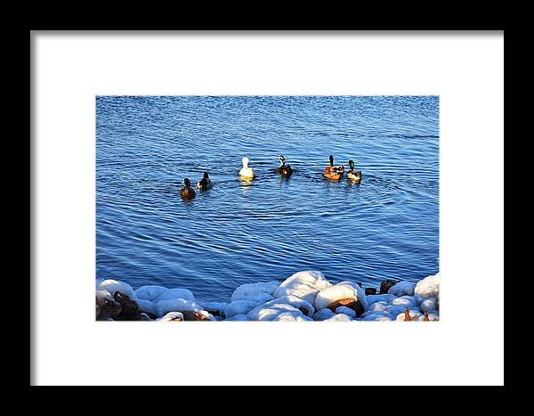 Ducks Framed Print featuring the photograph Winter Swim by Steve Hayeslip
