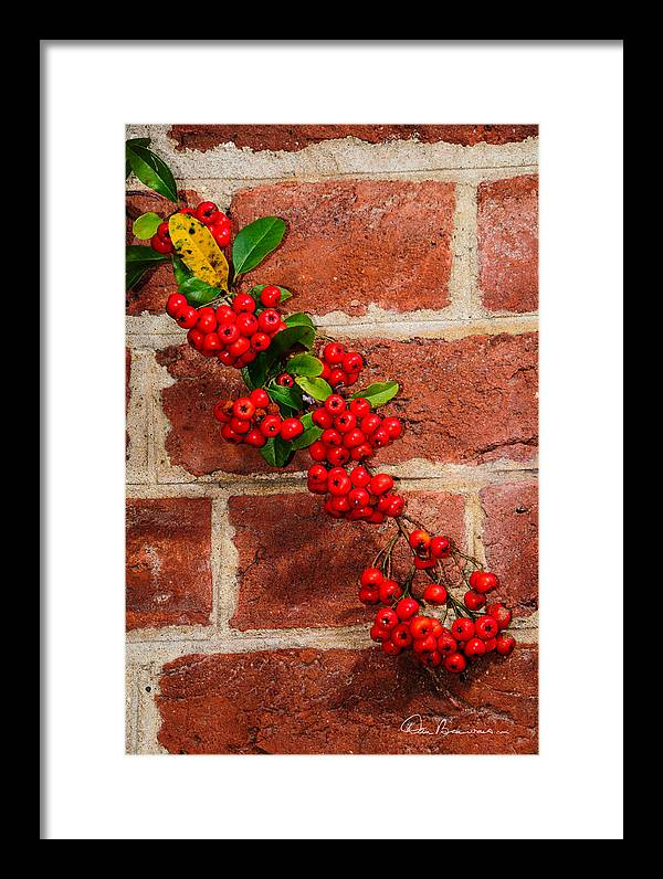 Christmas Framed Print featuring the photograph Winterberry 0028 by Dan Beauvais