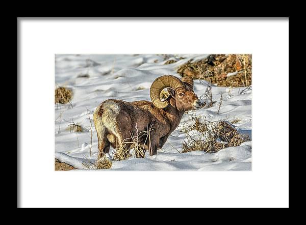 Bighorn Ram Framed Print featuring the photograph Wintering Bighorn by Jason Brooks