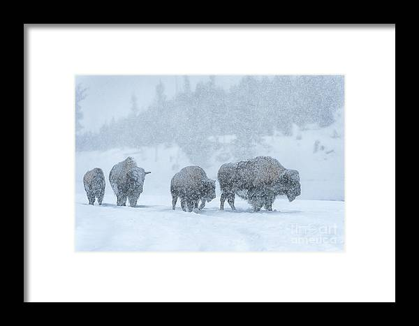 Bison Framed Print featuring the photograph Winter's Burden by Sandra Bronstein