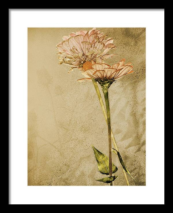 Flower Framed Print featuring the photograph Withered by Sally Engdahl
