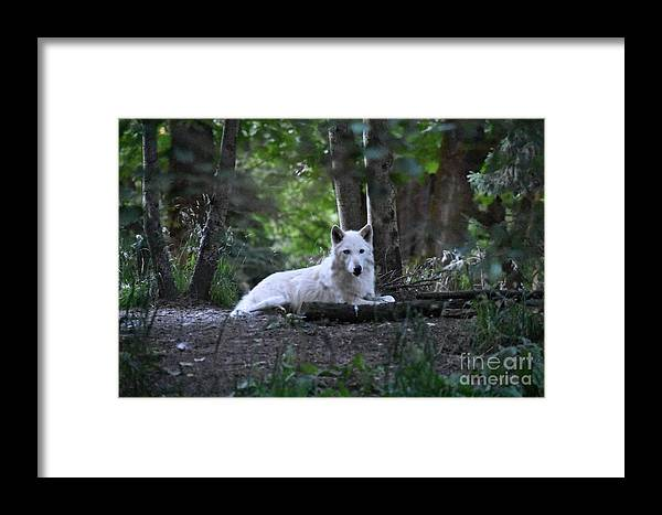 Wolf Framed Print featuring the photograph Wolf Greeting by Rose De Dan