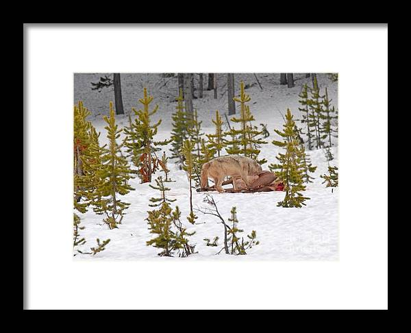 Wolf Framed Print featuring the photograph Wolf On Elk Kill by Dennis Hammer