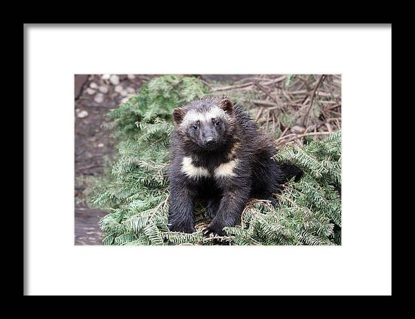 Northwest Trek Framed Print featuring the photograph Wolverine - Kit - 0009 by S and S Photo