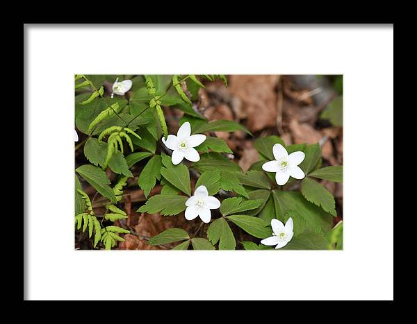 Flowers Framed Print featuring the photograph Wood Anemone Blooming by Hella Buchheim