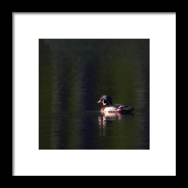 Wood Duck Framed Print featuring the photograph Wood Duck Drake by Bill Wakeley