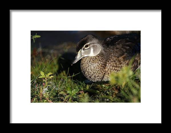 Wood Duck Framed Print featuring the photograph Wood Duck Female by Karol Livote
