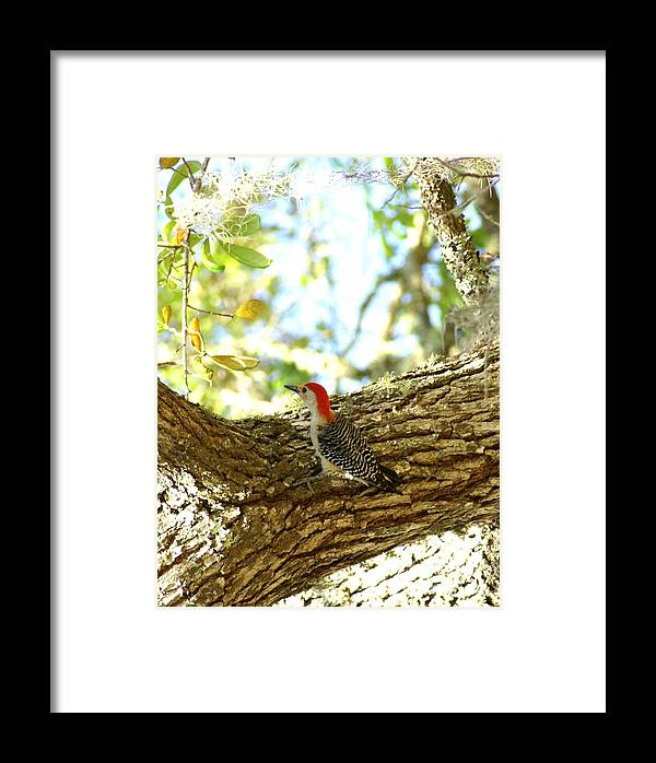 Bird Framed Print featuring the photograph Wood Pecker by Debbie May