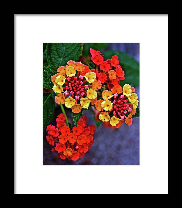 Yellow And Orange Lantana At Pilgrim Place In Claremont Framed Print featuring the photograph Yellow And Orange Lantana At Pilgrim Place In Claremont-california by Ruth Hager