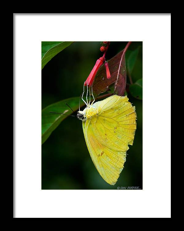 Butterfly Framed Print featuring the photograph Yellow And Red by Don Durfee