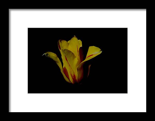 Tulip Framed Print featuring the photograph Yellow And Red Tulip by Belinda Stucki