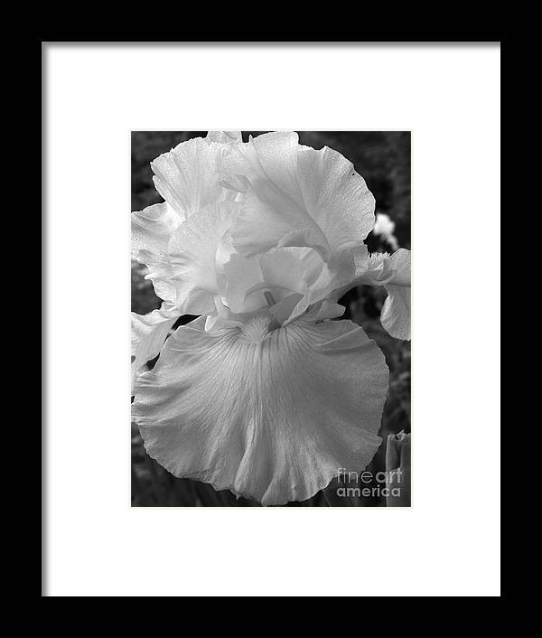 Iris Framed Print featuring the photograph Yellow And White Iris In Bw by Kathy McClure
