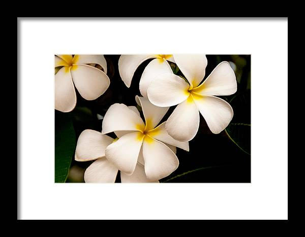 Yellow And White Plumeria Flower Frangipani Framed Print featuring the photograph Yellow And White Plumeria by Brian Harig