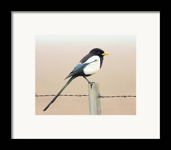Bird Framed Print featuring the photograph Yellow-billed Magpie by Wingsdomain Art and Photography