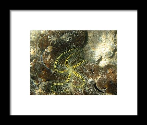 Brittle Star Framed Print featuring the photograph Yellow Brittle Star Under The Dock by Kelly   ZumBerge